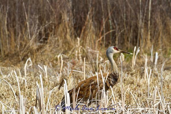 Sandhill Crane in western Montana, Bitterroot Valley. Image 3235.