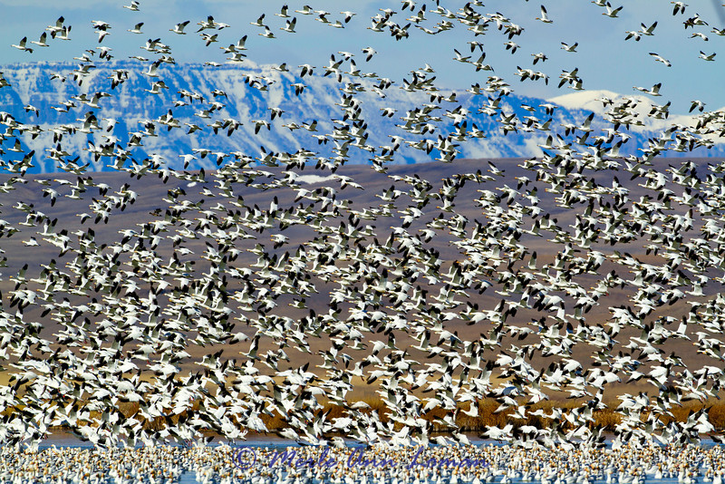 Snowgeese on Freezeout Lake in Montana, USA in the spring. Image 6073. The Front Range of the Rocky Mountains is in the background (the photo is looking west).