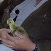 May 11 - Jack rescued Swisher the goose. He was abandoned on the Big Hole River.