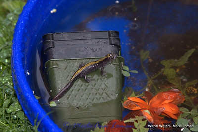 May 12. a newt takes over one of Swishers bathing pans in the yard.