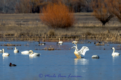 Tundra Swans in the Mission Valley - IMG_8817