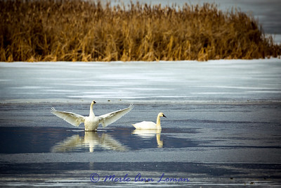 Tundra Swans. They have a little yellow spot at the base of their bill. Image 8298.