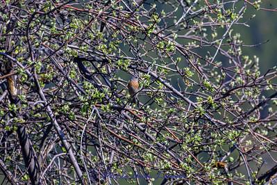 """Western Bluebird in """"old"""" apple tree. Image 5248"""