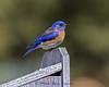 20150403-3R9B0562-Western_Bluebird-009