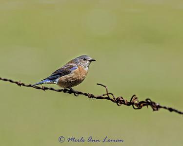 Female Western Bluebird, IMG_0574