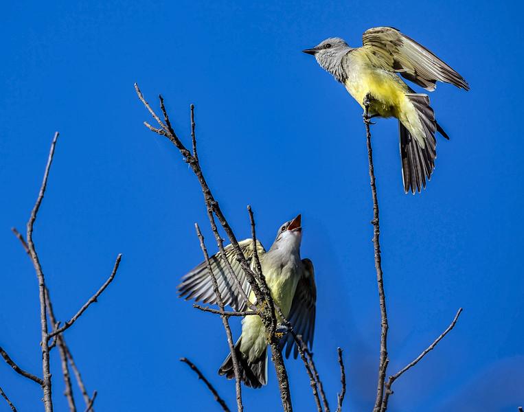 Western Kingbird - Tyrannus verticalis, Mission Valley, 7-3-2015 IMG_1766