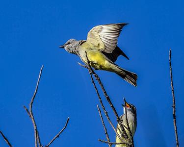 Western Kingbird - Tyrannus verticalis, Mission Valley, 7-3-2015 IMG_1775