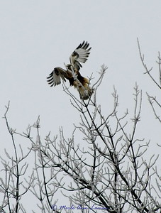 Rough-legged hawk in the Bitterroot