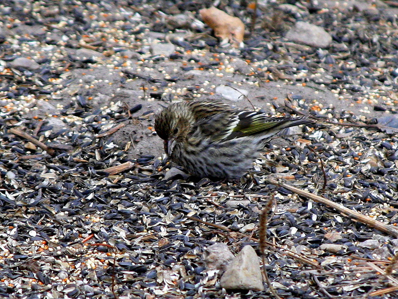Sparrow - maybe savannah sparrow