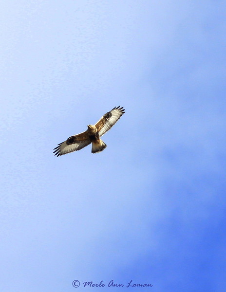 Rough-legged hawk in the Bitterroot