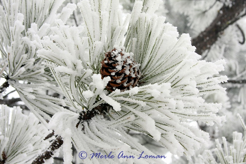 Ponderosa Pine branch with snow on it.