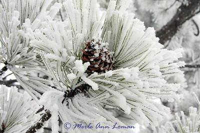 Ponderosa Pine branch with snow on it.