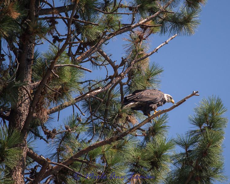 Bald Eagle on Ponderosa Pine tree