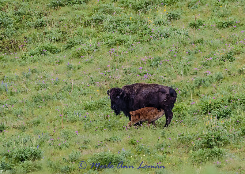 Bison cow and calf in late May - IMG_6416 #MontanaMoment