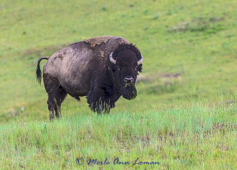 Bison bull IMG_5929