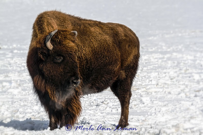 Bison in general