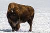 20150221-IMG_7793-bison-2