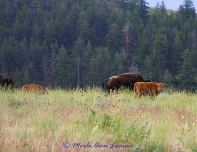 Bison on the National Bison Range in Moise, MT