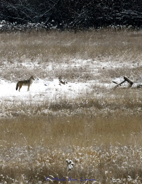 A coyote in a Bitterroot pasture west of Victor, January 24, 2010