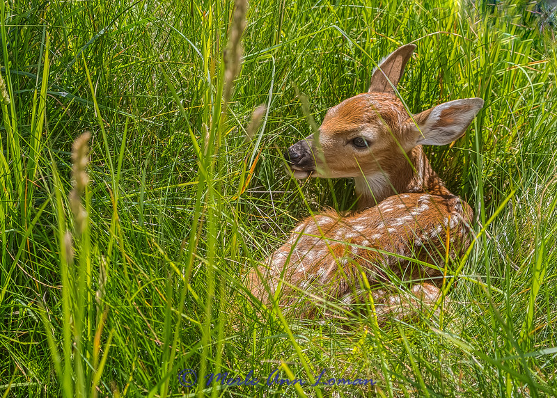 "White-tailed Deer fawn IMG_0953  ¯\_(ツ)_/¯ Please share and like the A Montana View Facebook page! Thanks so much for viewing. | visit  <a href=""http://www.amontanaview.com"">http://www.amontanaview.com</a> 