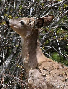 Button buck mule deer browsing on willow