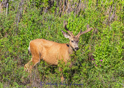Mule Deer buck in velvet IMG_4944 #velvet ¯\_(ツ)_/¯ Please share and like the A Montana View Facebook page! Thanks so much for viewing. | visit www.amontanaview.com | #Photography #Montana #MontanaMoment #MuleDeer - Buy this photo at this link http://smu.gs/1QpfkNY