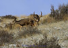 Mule Deer in rut - Img_3197