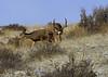 Mule Deer in rut - Img_3197