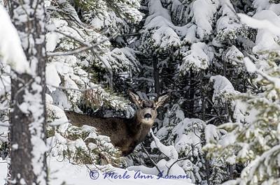 Mule-Deer_IMG-0597 H