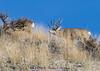 Mule Deer Buck in rut - IMG_3133