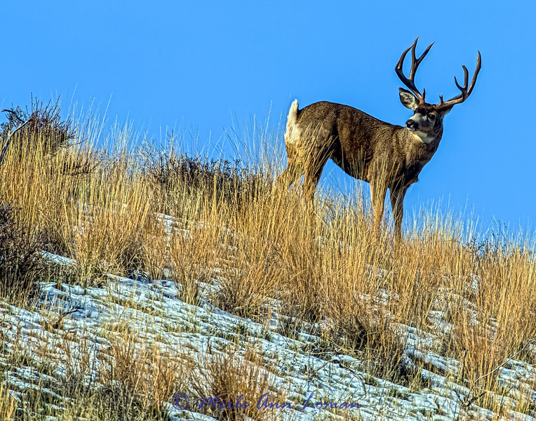 Mule Deer Buck in rut, Bitterroot Valley, Montana USA IMG_3514