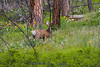 Saw this Mule Deer doe in June on a hike - high Bitterroot Mountains. She didn't leave, I think her fawn was hidden nearby. Image 5363.