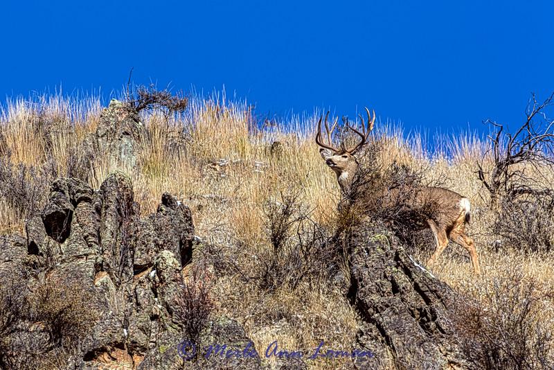 Mule Deer Buck in rut - IMG_3161