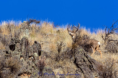 Mule Deer Buck in rut - IMG_3161