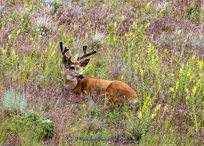 Mule Deer Buck in mid-June IMG_7552