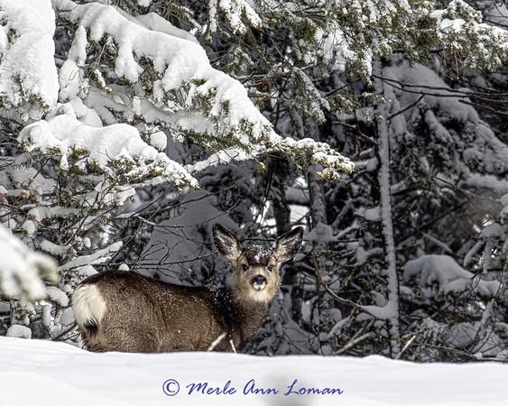 Mule Deer 2014-2015