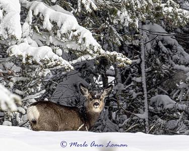 Mule-Deer_IMG-00605 H-8x10