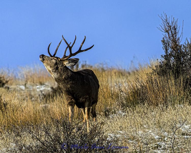 Mule Deer Buck in rut - IMG_3209