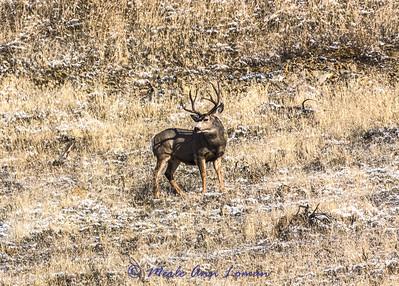 20141113-3R9B2792-h-Mule_Deer_Buck-5x7