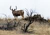 Mule Deer - that time of year again Img_2476