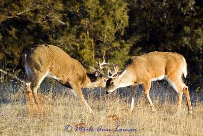 Two white-tailed bucks sparring