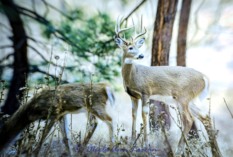 White-tailed-buck-2