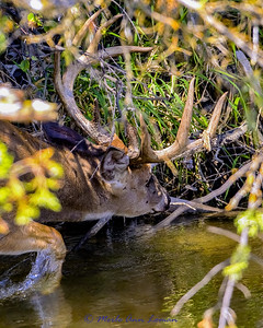 White-tailed buck in Mission Creek IMG_3304