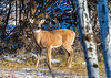 4 point White-tailed buck IMG_3424 5x7