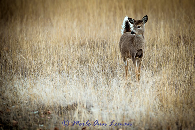 White-tailed deer (fawn) on alert