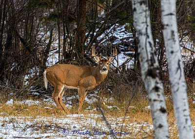 4 point White-tailed Buck IMG_3454