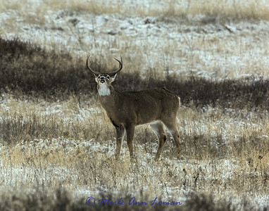 White-tailed buck in rut IMG_3694 14x11