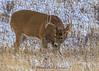 White-tailed Buck in November
