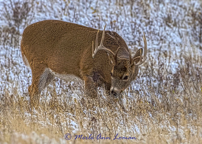 White-tailed Buck in November