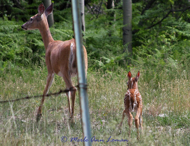 Whitetail Doe and Her Fawn